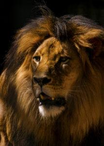 Ett lejons rytande kan nå upp till cirka 115 decibel.